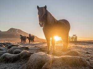 Islandzki Koń